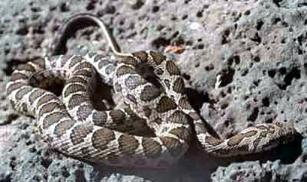 coin snake