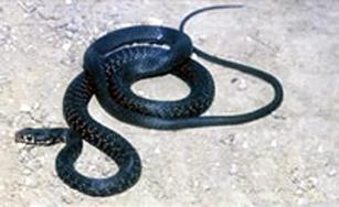 Cyprus whip snake
