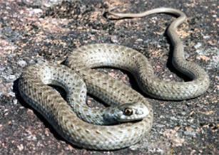 Montpellier-snake