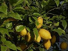 Lemon_2