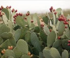 Prickly Pear_1