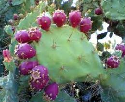 Prickly Pear_3