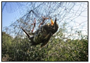 Bird trapped in a Cyprus mist net