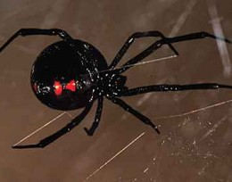 Spiders_black widow