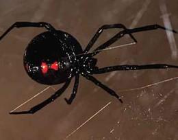 Spiders_black widow