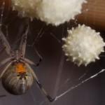 Spiders_brown widow
