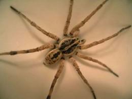 Spiders_wolf spider