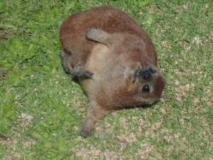 a so called Dassie rat